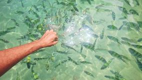 Closeup Man Feed Stripy Fish in Transparent Water with Gleams. Closeup man fingers feed flock of small yellow stripy fish in transparent azure ocean water with stock video footage