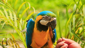 Closeup Man Hand Feeds Parrot in KL Bird Park. Closeup man hand feeds blue-gold Macaw parrot against tropical plants in Kuala-Lumpur Bird park stock footage
