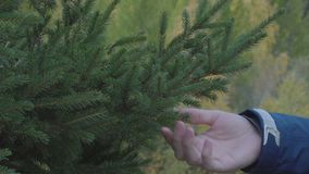 Close up man hand touch fir spruce tree branches with green needles outdoors. Closeup man hand touch fir spruce pine tree branches with green needles outdoors 4k stock video footage