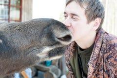 Closeup of a man kissing a moose royalty free stock photos