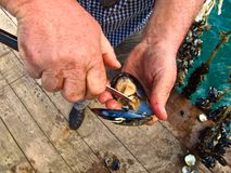 Closeup of man's hands removing mussel from shell. Closeup of man's hands removing mussel from its shell with a knife Royalty Free Stock Photo