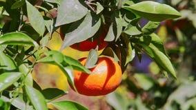 Closeup Mandarin with Sun Brightness on Side in Tree Leaves. Closeup macro large single tangerine fruit with sun brightness on side among green leaves before