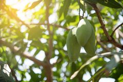 Mangoes on mango tree. Closeup mangoes on mango tree Stock Images