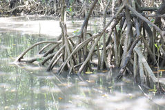 Closeup the mangrove root Stock Photo