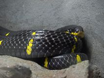 Close up Mangrove Snake or Gold-Ringed Cat Snake Coiled on The G royalty free stock image