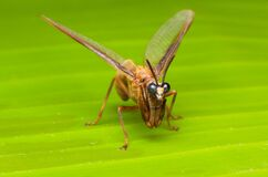 Free Closeup Mantid Fly On Green Leaf Royalty Free Stock Photo - 184581955
