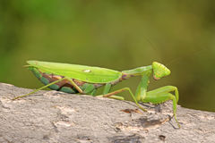 Closeup of mantis Stock Image