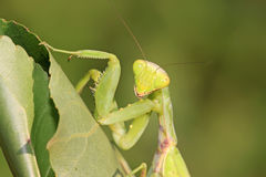Closeup of mantis Royalty Free Stock Photography