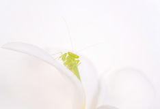 Closeup mantis, grasshopper, insect, locust on white background. Stock Photography