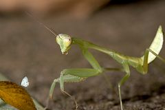 Closeup Mantis try to capture butterfly Royalty Free Stock Image