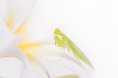 Closeup mantis on white background. Stock Photos