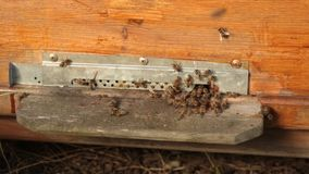 Closeup many bees fly near the entrance to the wooden hive. The bees crawl out and climb into the hive. stock video footage