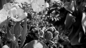 Closeup of many buds of beautiful fresh flowers growing in flowerbed in city park. Black and white video of fresh tulips. And leaves. Real time full hd footage stock video footage