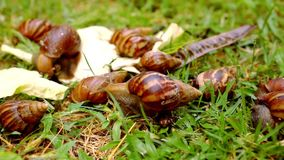 Closeup of many crawling, loving and eating Snails Stock Images