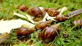 Closeup of many crawling, loving and eating Snails Stock Photo