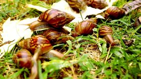 Closeup of many crawling, loving and eating Snails. In the grass. Macro video shift motion 1920*1080 stock video footage