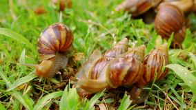 Closeup of many crawling, loving and eating Snails. In the grass. Macro video shift motion 1920*1080 stock video
