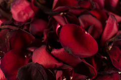 Closeup of Many Dying Red Rose Petals. Old and dying blood red rose petals with defocus areas Stock Images
