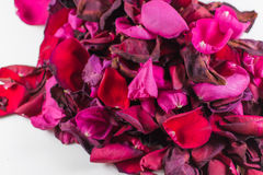Closeup of Many Dying Red Rose Petals. Old and dying rose petals with defocus areas on white background Stock Photo