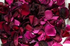 Closeup of Many Dying Red Rose Petals. Old and dying rose petals with defocus areas on white background Stock Photos