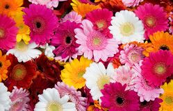 Closeup of many gerbera flowers Royalty Free Stock Photo