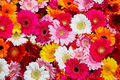 Closeup of many gerbera flowers Stock Images