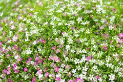 Closeup many little gypsophila pink and white flowers background royalty free stock images