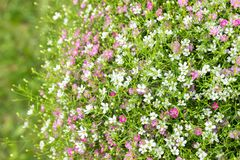 Closeup many little gypsophila pink and white flowers background royalty free stock photos