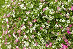Closeup many little gypsophila pink and white flowers background stock image