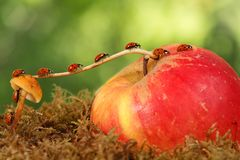 Free Closeup Many Little Red Ladybugs Moves On A Branch From Mushroom On Apple On Green Background . Stock Images - 164891454