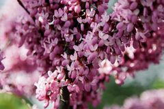 Closeup of many pink Cercis flowers. Flowers in bloom on a red-brown branch in spring stock photo