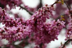 Closeup of many pink Cercis flowers. Flowers in bloom on a red-brown branch in spring royalty free stock photography