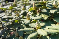 Many rhododendron buds from close. Closeup of many rhododendron buds on a sunny day in the beginning of the spring season Royalty Free Stock Image