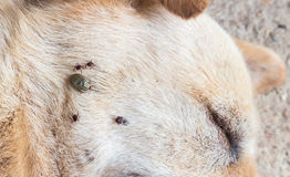 Closeup many ticks on face of dog, selective focus, pet healthy Royalty Free Stock Photography