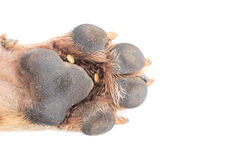 Closeup many ticks on foot dog, selective focus, pet healthy con. Cept Stock Photos