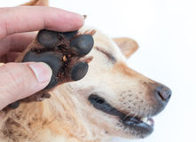 Closeup many ticks on foot dog, selective focus, pet healthy con Stock Image