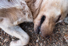 Closeup many ticks or parasitic on the dog, Pet health care conc Stock Photos