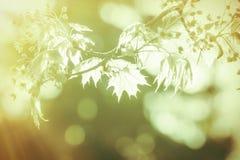 Closeup of a maple branch Royalty Free Stock Photos