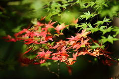 Closeup of maple. And green leaves with sunray Royalty Free Stock Photo