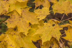 Closeup of Maple Leaves in the Fall Royalty Free Stock Photo