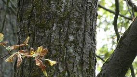 A closeup of a maple tree trunk with thick and thin branches in autumn. IAn original view of a big cracked trunk of a maple tree with thin and thick branches and stock video