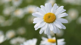 Closeup of a marguerite stock video footage