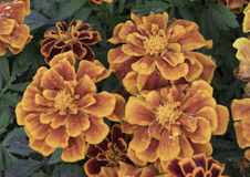 Closeup of Marigold blooms with morning dew Stock Images