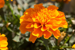 Closeup of a Marigold flower Royalty Free Stock Images