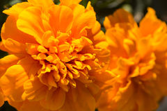 Closeup of Marigold flowers Stock Photos