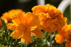 Closeup of Marigold flowers Royalty Free Stock Image
