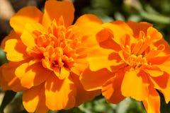 Closeup of Marigold flowers Stock Image