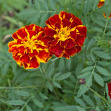 Closeup of Marigold flowers Stock Photo