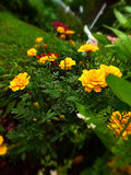 Closeup of marigolds in garden at ground level with miniature effect Royalty Free Stock Images