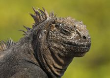 Closeup of a Marine Iguana royalty free stock image